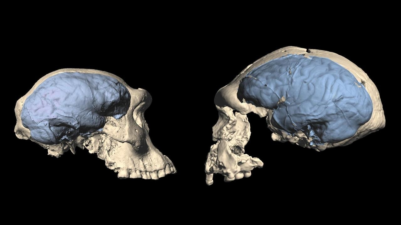 The modern human brain appeared shorter than expected
