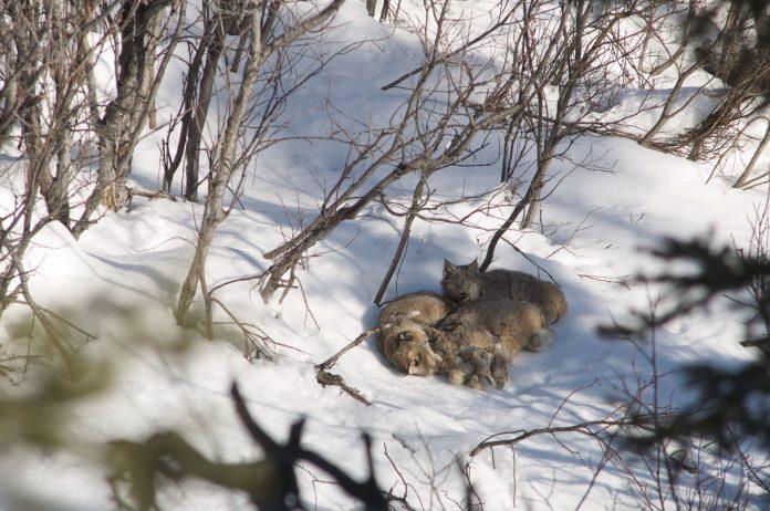 The secret life of Canada's Lynx