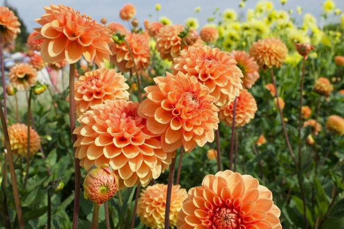 For a colorful balcony and a vibrant garden, we need to grow this wonderful, versatile and wonderful plant.