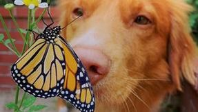 Here is the sweetest Milo, the dog is madly in love with monarch butterflies