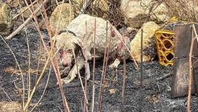 In Sardinia, a shepherd dog does not run away in front of a flame to protect the herd that is saved by a vet
