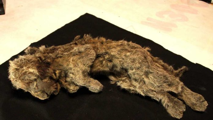 A perfectly preserved ancient lion cub was found complete with mustaches and fur