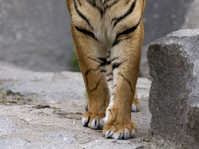 Die ripped apart by a tiger: the horror of a 21-year-old