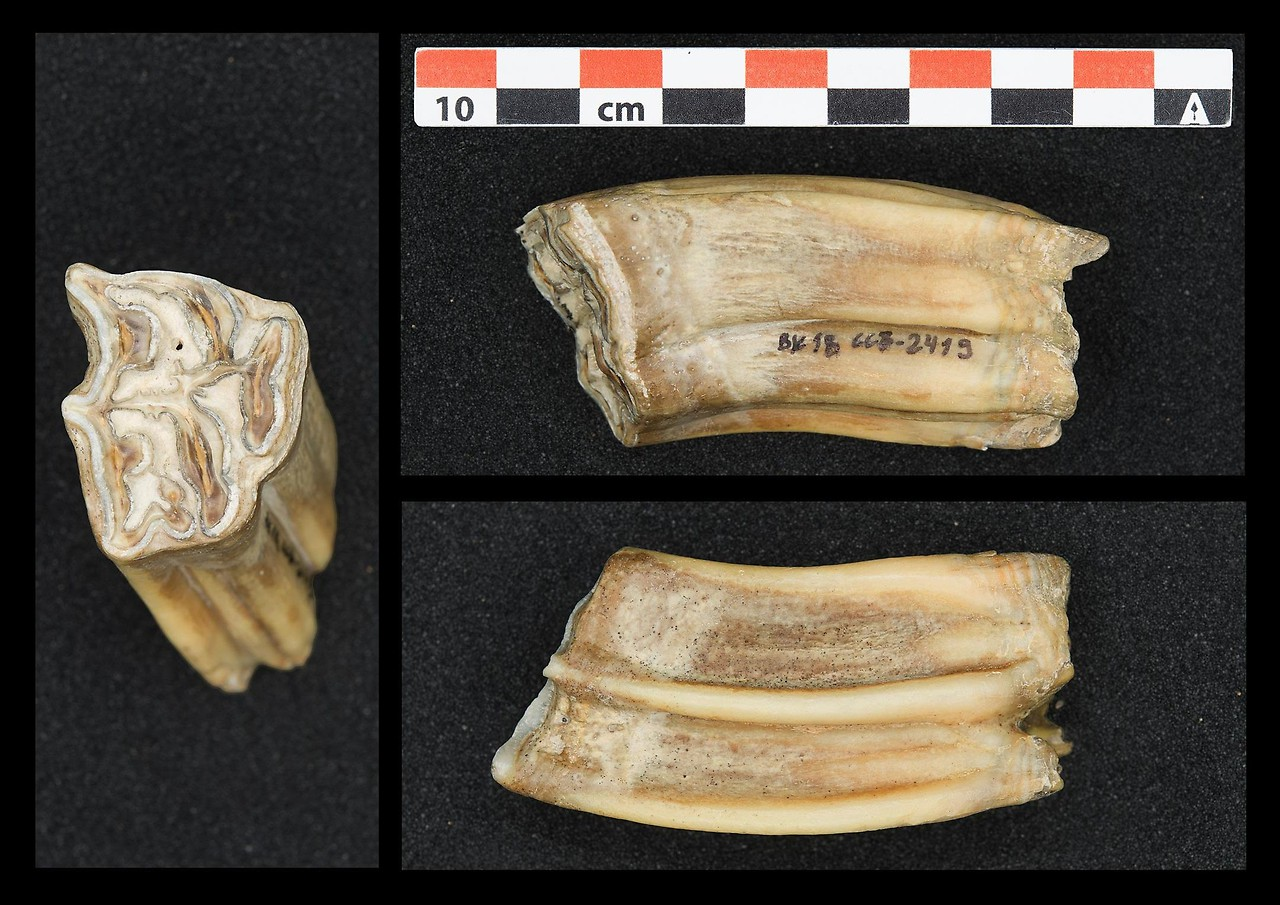 Horse teeth like this were used for isotope analysis