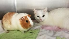 Cat and guinea pig, curious couple looking for a home together